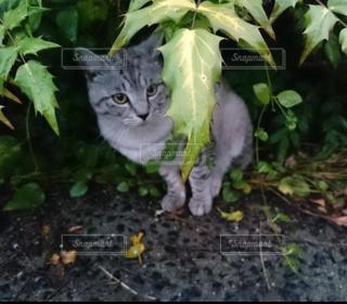 猫,自然,動物,屋外,かわいい,ペット,人物,外,可愛い,グレー,帰り道,草木,ネコ