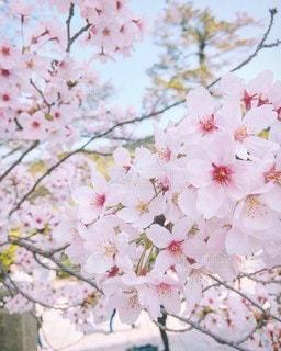 花,春,桜,満開,樹木,草木,桜の花,さくら,ブルーム,ブロッサム