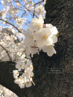 花,春,桜,樹木,草木,桜の花,さくら,ブロッサム