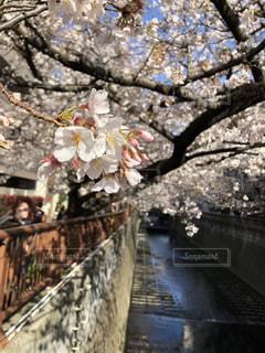 花,春,桜,樹木,目黒川,草木,桜の花,さくら,ブロッサム