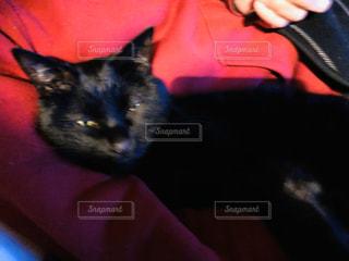 猫,動物,ペット,人物,黒猫,眠い,ネコ