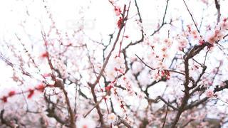 花,桜,屋外,枝,樹木,松本城,草木,ブロッサム