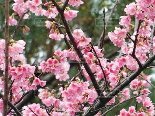 春,樹木,桜の花,ブロッサム