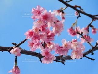 春,桜,木