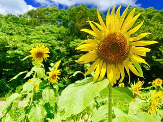 花,夏,ひまわり,山,景色,癒し,フィルム,フィルム写真,ガーデン,フィルムフォト