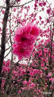 花,春,ピンク,ブロッサム
