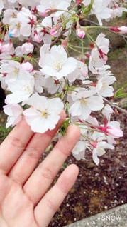 春,桜,ピンク,さくら,ブロッサム,さわってみた,手に届く