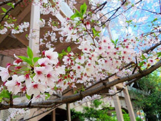 花,春,緑,四季,桜の花,さくら