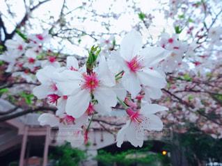 春,緑,四季,桜の花,さくら,ブロッサム