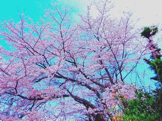 自然,春,桜,満開,4月,さくら,スタート