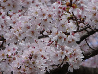 春,桜,花見,お花,四季,桜の花,さくら,ブロッサム,うららか