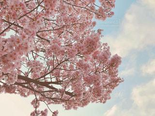 花,春,桜,ピンク,花見,満開,樹木,お花見,イベント,草木,桜の花,さくら,ブロッサム