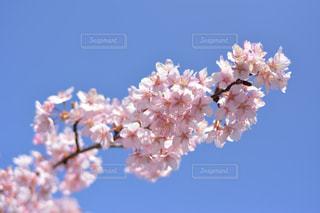 空,花,春,青い空,鮮やか,樹木,草木,桜の花,ブルーム,ブロッサム