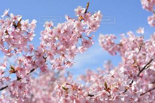 空,花,屋外,鮮やか,草木,桜の花,さくら,ブロッサム