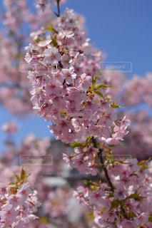 花,春,屋外,葉,果物,樹木,ブナ,桜の花,さくら,ブロッサム,ニワトコ