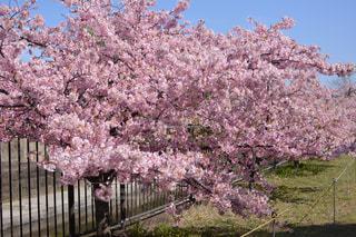 花,春,屋外,ピンク,草,樹木,草木,桜の花,さくら,ブロッサム