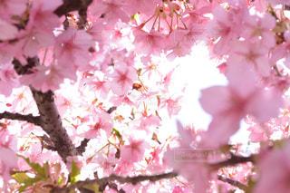 花,春,景色,鮮やか,草木,桜の花,さくら,ブルーム,ブロッサム