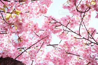 空,花,春,鮮やか,樹木,草木,桜の花,さくら,ブロッサム