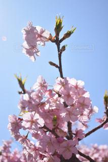 空,花,春,屋外,鮮やか,樹木,草木,桜の花,さくら,ブルーム
