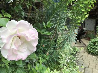 猫,花,動物,屋外,ペット,人物,黒猫,草木,ネコ,ばら,ガーデン,猫ダンス