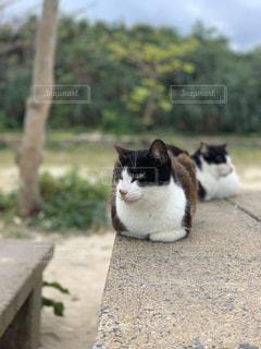 猫,動物,竹富島,離島,ネコ