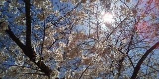 空,花,春,森林,雪,屋外,青い空,樹木,草木,桜の花,さくら,ブルーム,ブロッサム