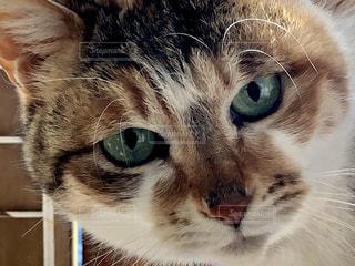 猫,動物,かわいい,ペット,アップ,目,見つめる,三毛猫,ネコ