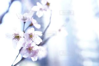 花,春,桜,ピンク,白,儚い,草木,ブロッサム