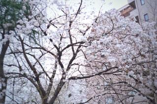 空,花,春,屋外,ピンク,満開,樹木,オールドレンズ,草木,さくら,ブロッサム