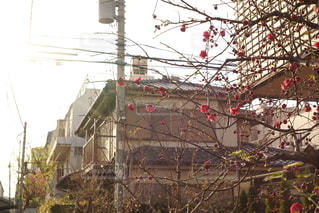 夕方と梅の花の写真・画像素材[3048047]