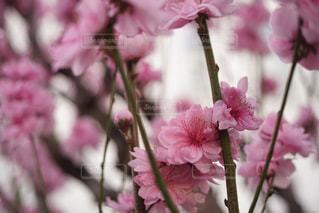 花,春,ピンク,花束,景色,花びら,鮮やか,八重桜,オールドレンズ,草木,桜の花,ブルーム,ブロッサム,フローラ