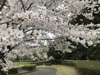 花,春,屋外,景色,草木,桜の花,日中,さくら,ブルーム,ブロッサム