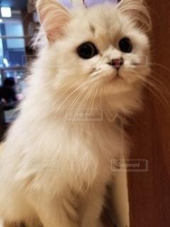 猫,動物,ふわふわ,ペット,人物,白猫,ネコ