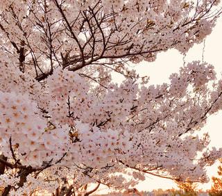 花,春,屋外,ピンク,樹木,夕陽,桜の花,さくら