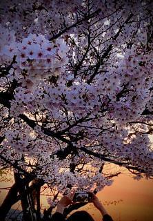 女性,子ども,1人,花,春,ピンク,夕暮れ,樹木,夕陽,桜の花,さくら,ブロッサム
