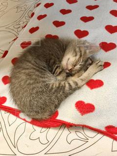 男性,家族,猫,動物,屋内,かわいい,ペット,寝顔,子猫,人物,座布団,ネコ,ネコ科の動物