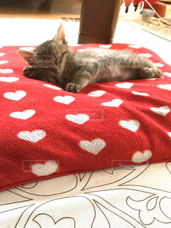 男性,家族,猫,動物,屋内,赤,かわいい,ペット,寝顔,子猫,人物,座布団,ネコ,ベッド,ネコ科の動物