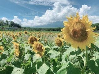 野原の黄色い花の写真・画像素材[3020942]
