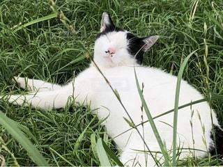 猫,動物,緑,昼寝,可愛い,野良猫,すやすや,原っぱ,気まま,社長,名前,地域猫,食いしん坊,ネコ,フォトジェニック,保護猫