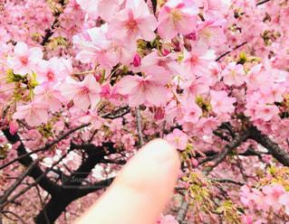 満開だよ♡河津桜(^^)の写真・画像素材[2976960]