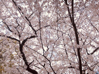 桜カーテンの写真・画像素材[3083590]