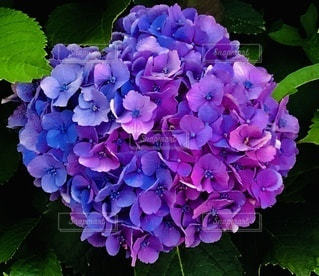 大きな紫陽花♡クローズアップの写真・画像素材[3379313]
