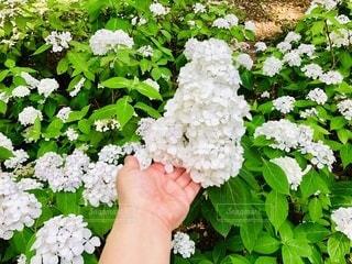 白い美しい紫陽花♡六義園(^^)の写真・画像素材[3379334]