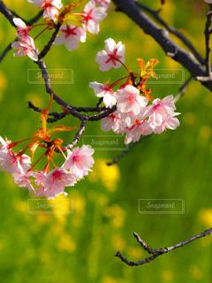花,春,桜,木,屋外,菜の花,花見,鮮やか,樹木,お花見,イベント,河津桜,ブロッサム