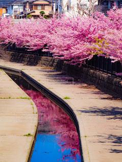 花,春,桜,木,屋外,ピンク,花見,鮮やか,樹木,お花見,イベント,リフレクション
