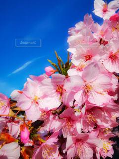 花,春,桜,木,ピンク,青空,青,花見,鮮やか,お花見,イベント,カラー,ブロッサム