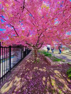 花,春,桜,木,屋外,ピンク,花見,鮮やか,樹木,お花見,イベント,カラー,さくら,ブロッサム