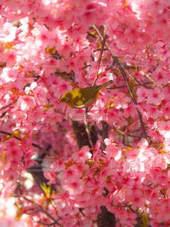 花,春,桜,鳥,木,花見,お花見,イベント,メジロ,河津桜,満開の桜