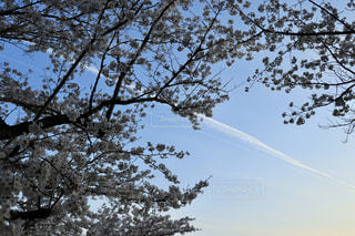 自然,風景,空,春,桜,屋外,樹木,草木,日中,クラウド