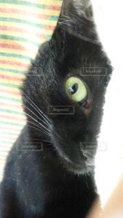猫,動物,ペット,黒猫,眼力が恐い